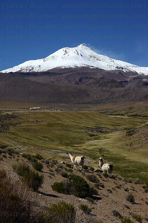 Llamas ( Lama glama ) grazing on hillside, Guallatiri volcano in background, Las Vicuñas National Reserve , Region XV , Chile