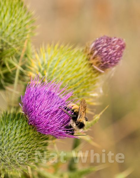 Thistle_with_Bee-72_August_08_2017_