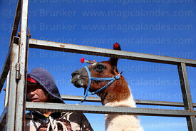 Man and llama that has been selected to take part in competition standing in weighing cage, Curahuara de Carangas, Bolivia
