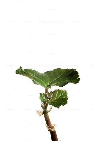 Detail of plant with juicy leaves on white background