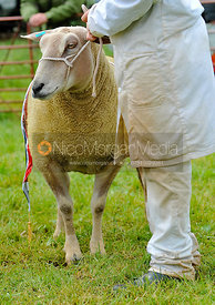 Sheep being shown at Rutland County Show