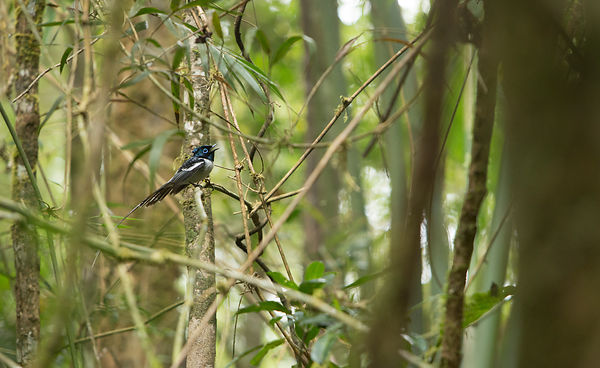 Male Paradise Flycatcher calling