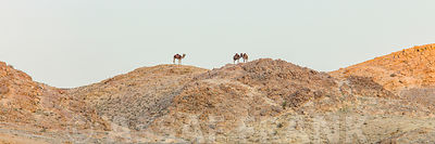 Camels on desert mountains, Israel