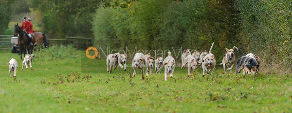 Cottesmore Hunt fox hounds on a scent trail