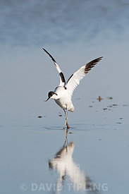 Pied Avocet Recurvirostra avosetta North Norfolk June