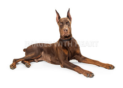 Red Doberman Pinscher Dog Lying Profile