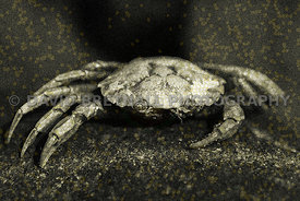 The Inedible Crab