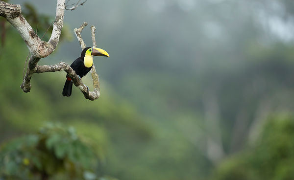 Chestnut-Mandibled Toucan in it's environment