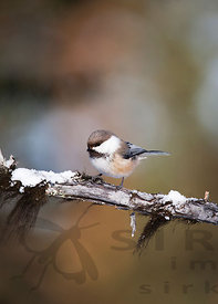 Siberian Tit on Snowy Branch