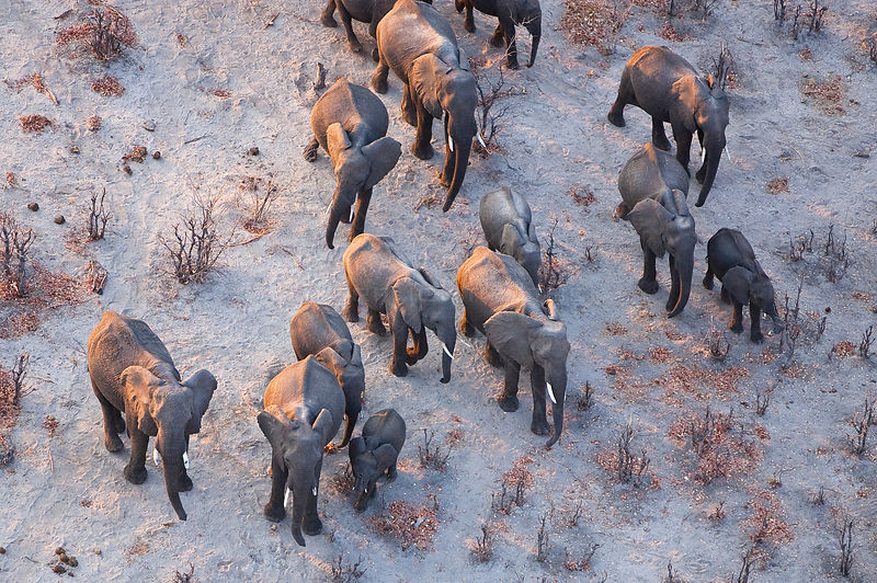 Aerial view of African elephant family (Loxodonta africana) travelling through parched landscape during drought conditions, Northern Botswana. Taken on location for BBC Planet Earth series, October 2005