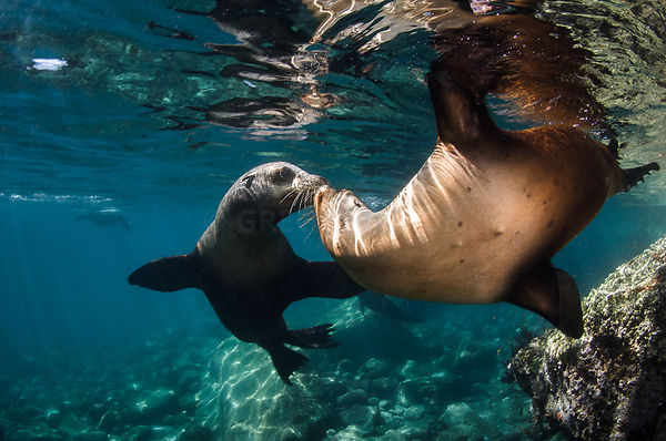 Sea lions of Los Islotes