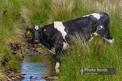 CATTLE 43A - Fresian cow at the stream