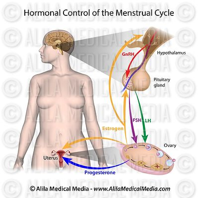 Hormonal control of menstruation