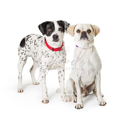 Two Dogs Together on White Background