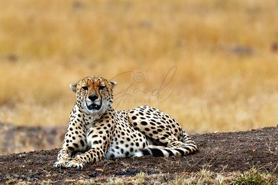 Cheetah in Africa - Looking at Camera