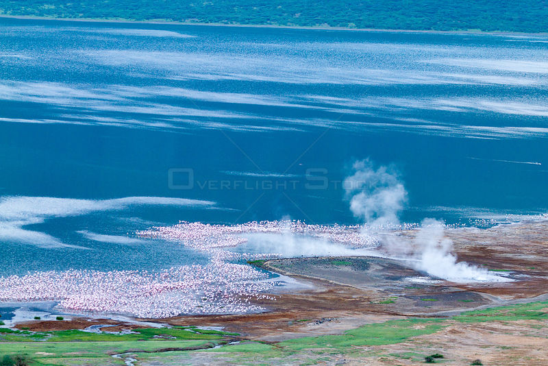 Lesser flamingo (Phoeniconaias minor) aerial view of flock and geysers, Bogoria Game Reserve, Kenya