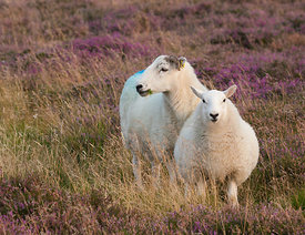 Ewe and lamb on Longstone Moor