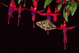 Silver Y Moth Autographa gamma feeding on fuschia flowers at night in garden Norfolk summer
