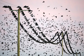 Rooks Corvus frugilegus at pre-roost gathering near Buckenham in Yare Valley Norfolk winter