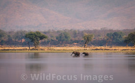 African Elephant (Loxodonta africana) crossing the Zambezi river, Mana Pools National Park, Zimbabwe; Landscape