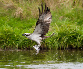 Osprey has catch a fish