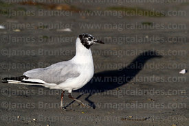 Adult Andean gull (Larus or Chroicocephalus serranus) in transition between winter / non-breeding and summer / breeding plumage