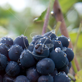 Lassalle-vendanges13_MKB8468
