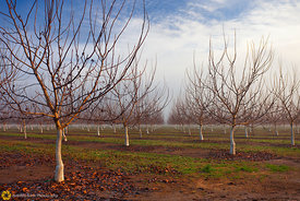 Young Walnut Trees in Winter