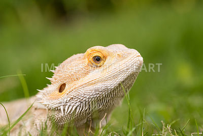 bearded_dragon_close_up_grass_yellow