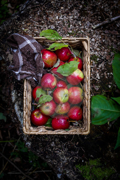 Apples in basket with towel on forest floor. Top view