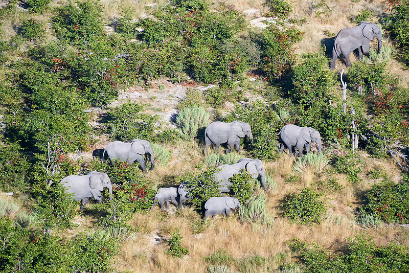 Aerial view of herd of African elephants (Loxodonta africana) walking on dry land, Okavango delta, Botswana, Africa