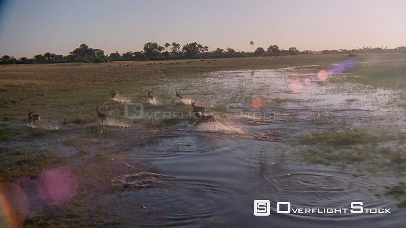 Slow motion aerial wide angle herd of antelope running and jumping through flooded plain, three run out of frame, camera follows Okavango Delta Zimbabwe
