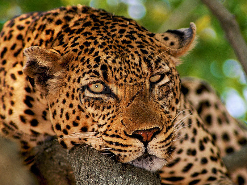 Portrait of a Leopard in a Tree