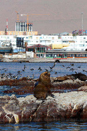 Male South American sea lion (Otaria flavescens), Iquique , Region I , Chile