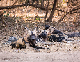 African Wild Dog (Lycaon pictus) near Old Ndungu camp turn off, Mana Pools National Park, Zimbabwe; Landscape
