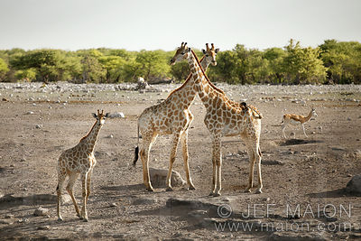 Giraffes with neck crossed