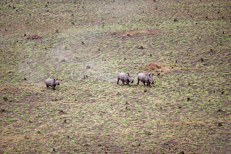 Aerial view of Northern white rhinoceros {Ceratotherium simum cottoni} taken from anti-poaching aircraft in 1989, Garamba NP, Dem Rep Congo.