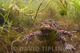 Common Toads Bufo bufo in amplexus in spring fed pond North Norfolk April