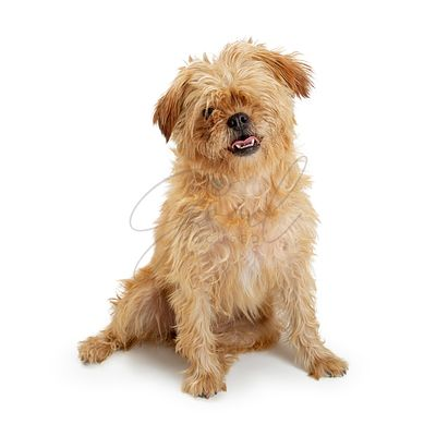 One-Eyed Brown Shaggy Dog Sitting