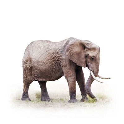 African Elephant Grazing - Isolated on White