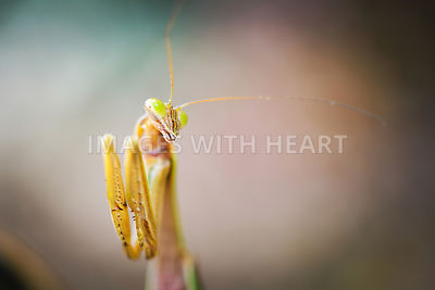 Preying_Mantis_Half_Body