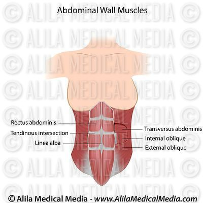 Abdominal muscles labeled.