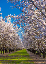 Almond Orchards in Bloom #6