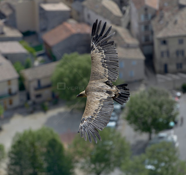 Griffon vulture (Gyps fulvus) in flight over town, Remuzat, France, May.