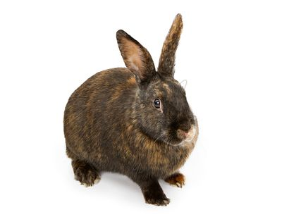 A Black and Orange Rabbit Isolated on White