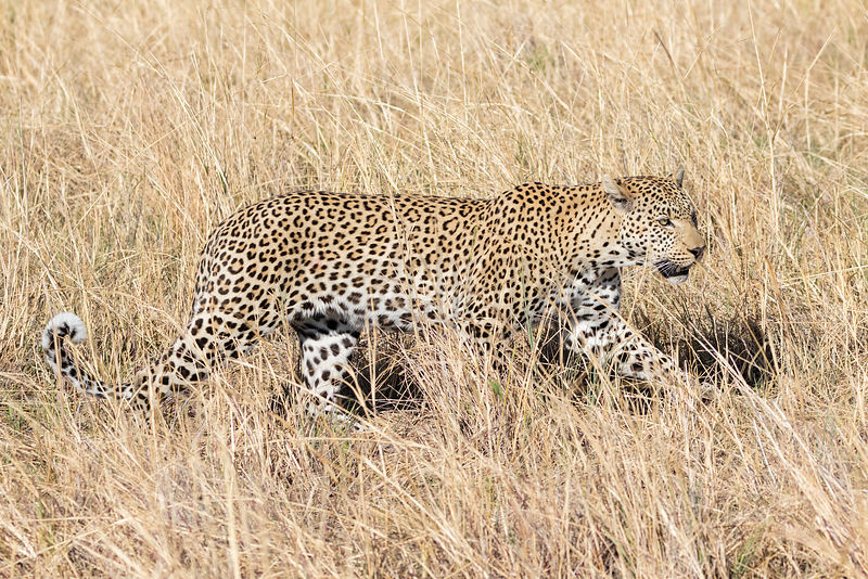 Leopard in Long Grasses