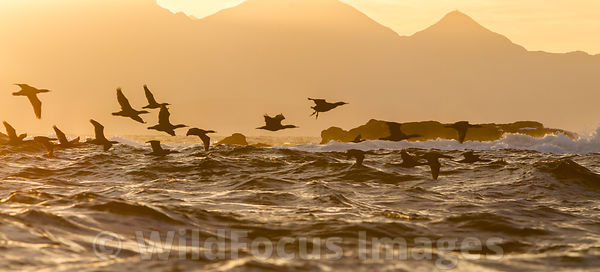 Cape Cormorant (Phalacrocorax capensis) at sunrise at Seal Island in False Bay, Simon's Town, South Africa; Landscape