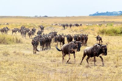 Wildebeest Herd Migrating in Africa