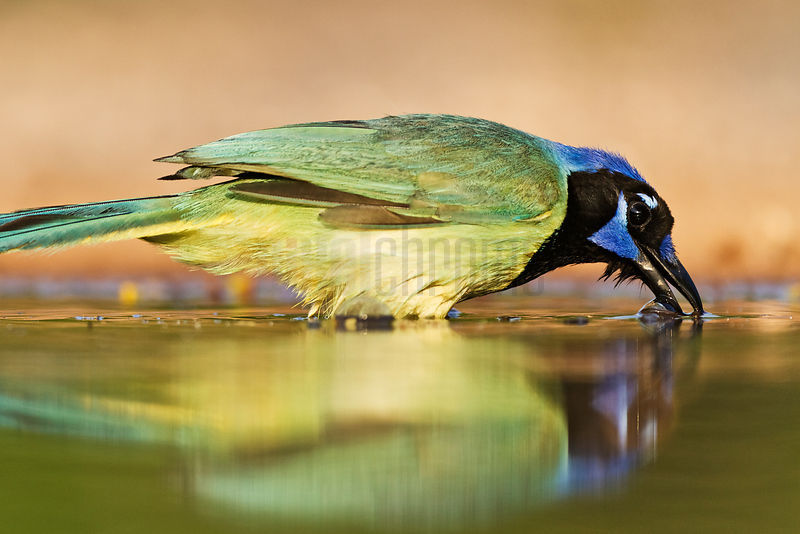 Green Jay in Waterhole
