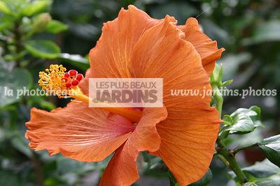 good hibiscus x ketmie rose de chine china rose with hibiscus de jardin persistant. Black Bedroom Furniture Sets. Home Design Ideas